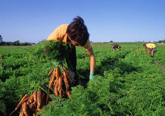 Certified Organic Carrots
